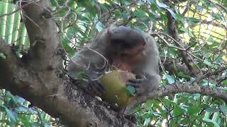 Monkey Eating And destroying coconuts from the tree