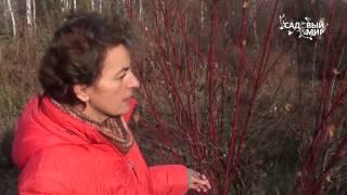 видео Туевик: декоративные формы, выращивание и размножение