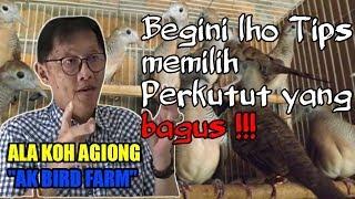 Tips memilih burung perkutut yang bagus ala koh agiong AK BIRD FARM