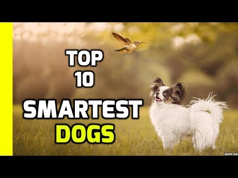 Top 10 Smartest Dogs in the World (Intelligent Dogs)