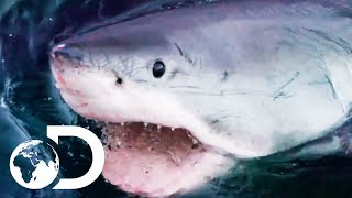 The Most Terrifying Great White Shark Encounters! | Shark Week 2019 | Discovery UK