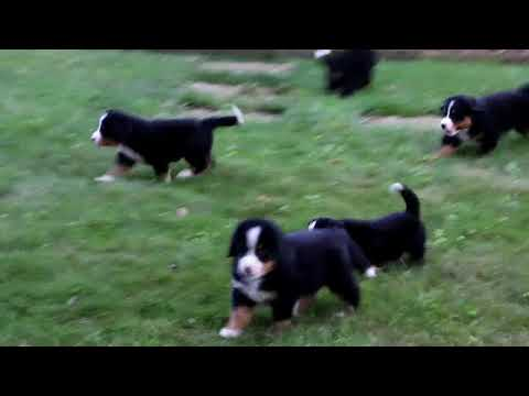 Bernese Mountain Dog Puppies For Sale Levi King