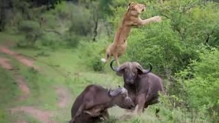 Aslan Boğa kavgası