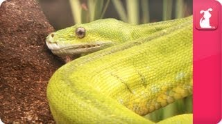Bindi & Robert Irwin feature - Green Tree Python (Scott) - Growing Up Wild.