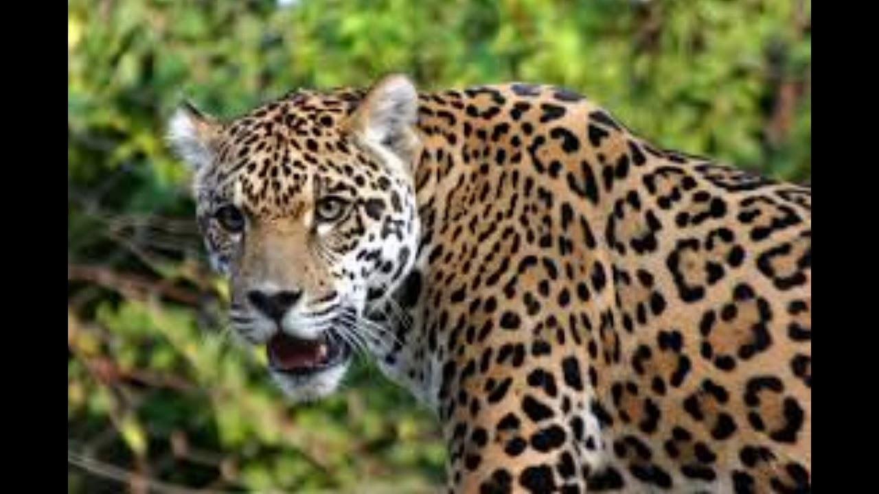 Single Jaguar Growl Sound Effect صوت الفهد - YouTube