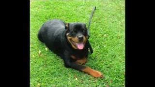 Picture Slideshow Of Rottweiler In Training With Balanced Obedience
