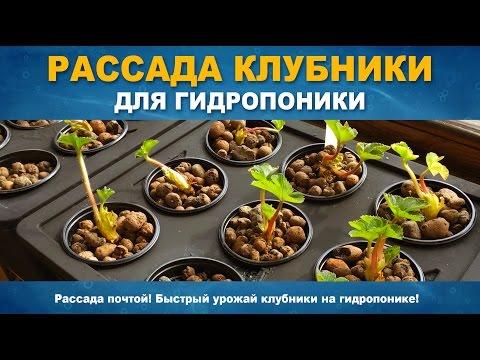 видео: РАССАДА КЛУБНИКИ ДЛЯ ГИДРОПОНИКИ - Как высадить клубнику в гидропонику