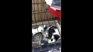 Котята с прививками ищут маму