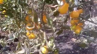 Урожай помидор 2016. Желтые помидоры Черри (Tomato harvest in 2016)