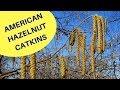 American Hazelnut Flower Catkins 2018
