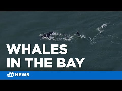 Humpback whales swim near Golden Gate Bridge