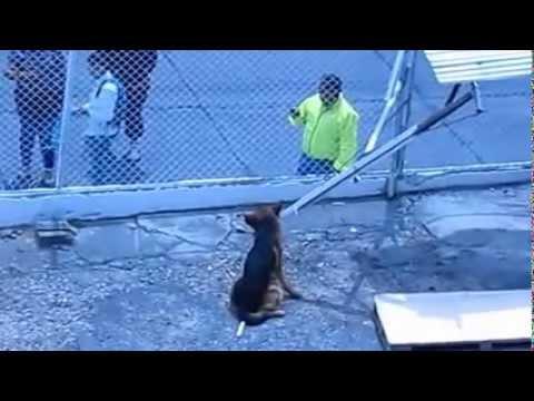 Cruel espera para el Pastor Alemán. Si no tiene con quien dejar el perro, no lo tenga!