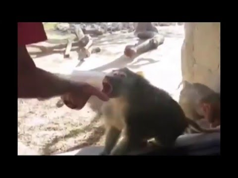 Sharon Green - Baboon's Reaction To Card Trick Is Hilarious!