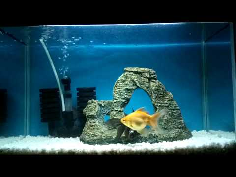 Black Moor, Black Telescope, Fantail Goldfish Fish, White Pebble, Blue Background Aquarium Tank