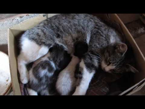Gray tabby and white farm cat nursing 4 kittens