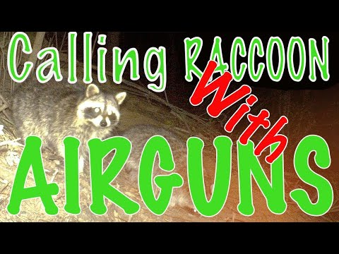 How To Call Racoons Into Airgun Range : Real Air Gun Hunting Raccoons