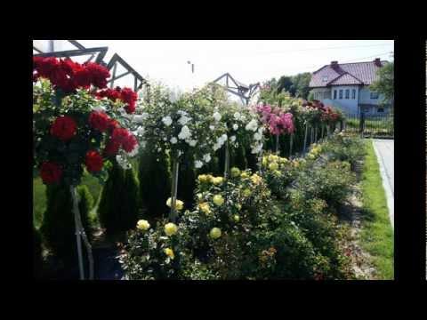 Zabezpieczenie róż przed zimą