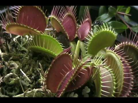 PLANTAS CARNIVORAS SHOW