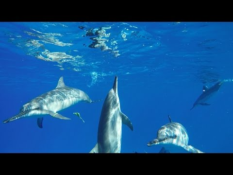 Swimming with Wild Dolphins: Travel Hawaii in 60 Seconds