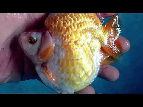 Cá Vàng Ryukin - Một Số Hình Ảnh Đẹp 2020 | Cá Cảnh Mini