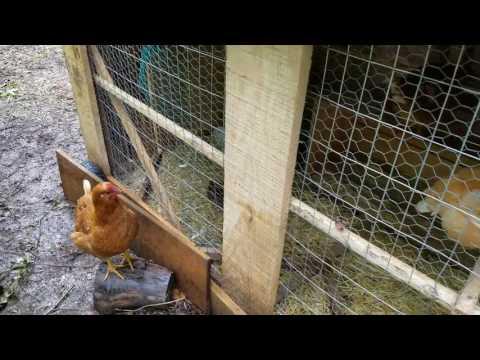 Cuckoo Marans, Isa Browns, and Baby Chicks