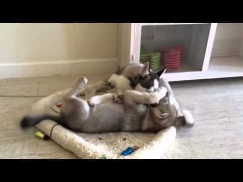 Grey Wolf Cub & Husky Puppy Playing Rough