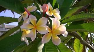 PLUMERIA: Plumeria alba (http://www.riomoros.com)