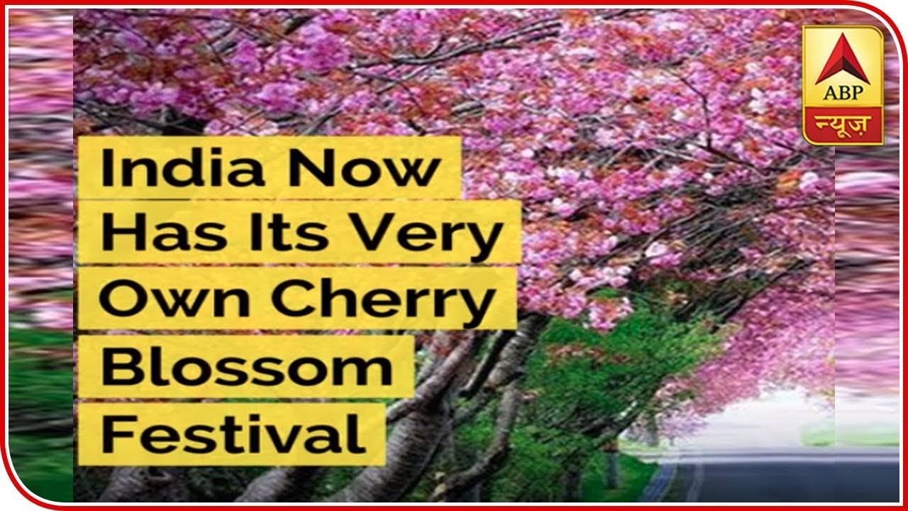 India Now Has Its Very Own Cherry Blossom Festival It S Happening In Shillong Abp News Youtube