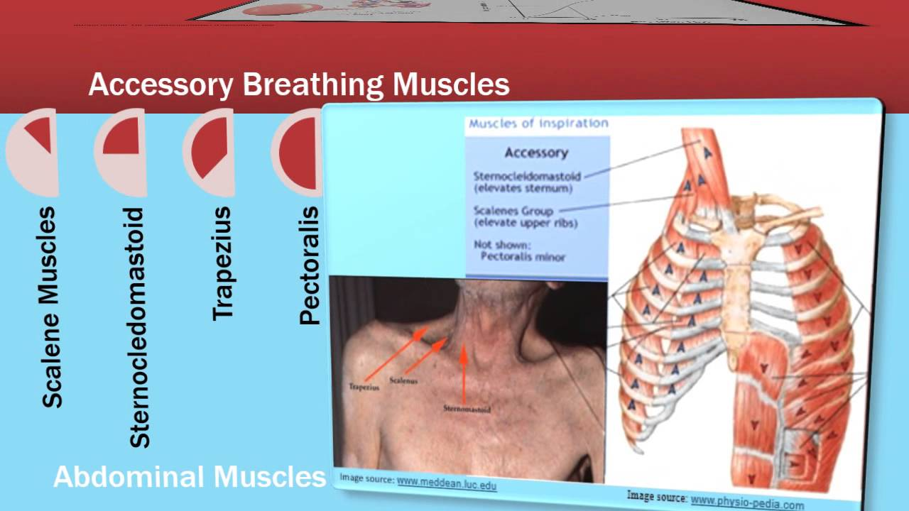 anatomy and physiology of the respiratory