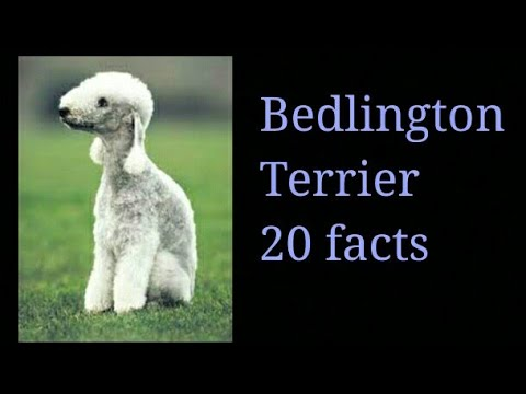 Bedlington Terrier||  20 Facts || In Hindi|| Animals are awesome