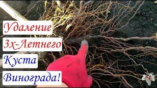 А где же корни? Удаление трёхлетнего куста винограда!