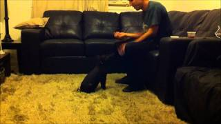Penny The Miniature Berkshire Pig Doing Tricks