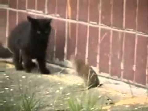 Rat Vs Cats A Brave Rat Fights 5 Cats YouTube