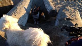 French Bulldog Vs Maltese/bichon Beach Playfight
