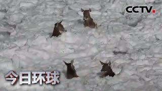 青海玉树:6只白唇鹿被困冰面 管护人员紧急救援  《今日环球》CCTV中文国际 - YouTube