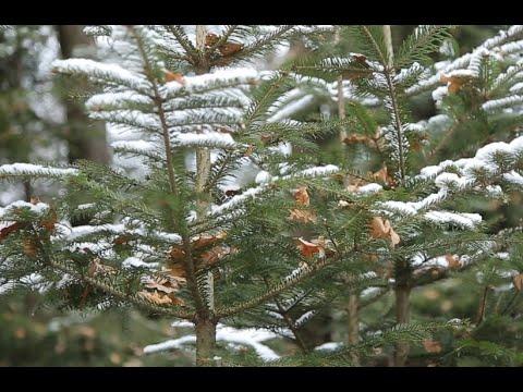 Інформаційне Агентство АСС: Які новорічні ялинки обирають буковинці