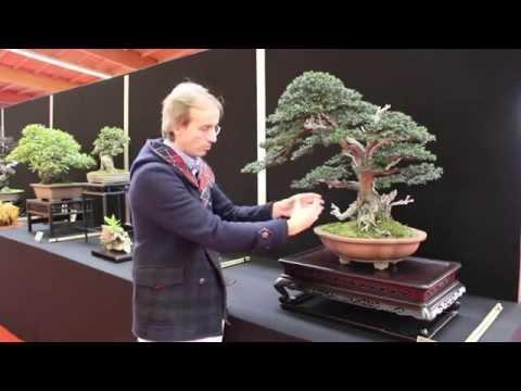 Taxus Baccata Bonsai