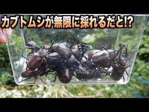 カブトムシが無限に捕れる山でカブトムシ狩りした結果。。。