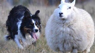 Работа бордер-колли с овцами