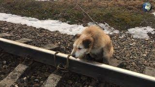 Найден мужчина, привязавший собаку к рельсам