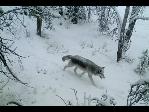 Wolf Reintroduction In Idaho (1995-2011)