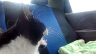 Кошка впервые едет в машине.