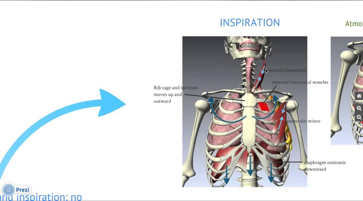 Respiratory System: Mechanism of Breathing - YouTube