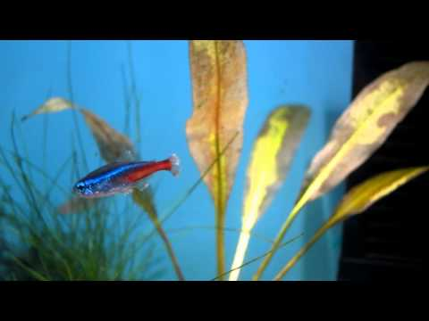MOST HUMANE WAY TO EUTHANIZE A FISH? Poor Neon Not Getting Better.