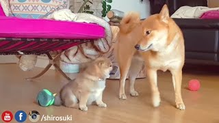 My life is potato. Ep 19 / Shiba Inu puppies / Daddo change of ❤️
