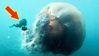 THE BIGGEST JELLYFISH IN THE WORLD (Lion's Mane Jellyfish)