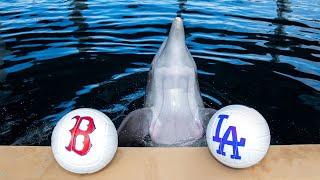 Nicholas the Dolphin Predicts 2018 World Series Winner