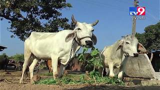 Veterinary college of Anand Agri. Uni. has carried out phenotypic characterization of Dagri cow