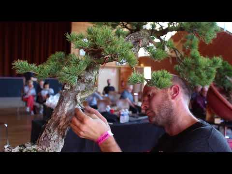 Peter Warren works on a Japanese white pine