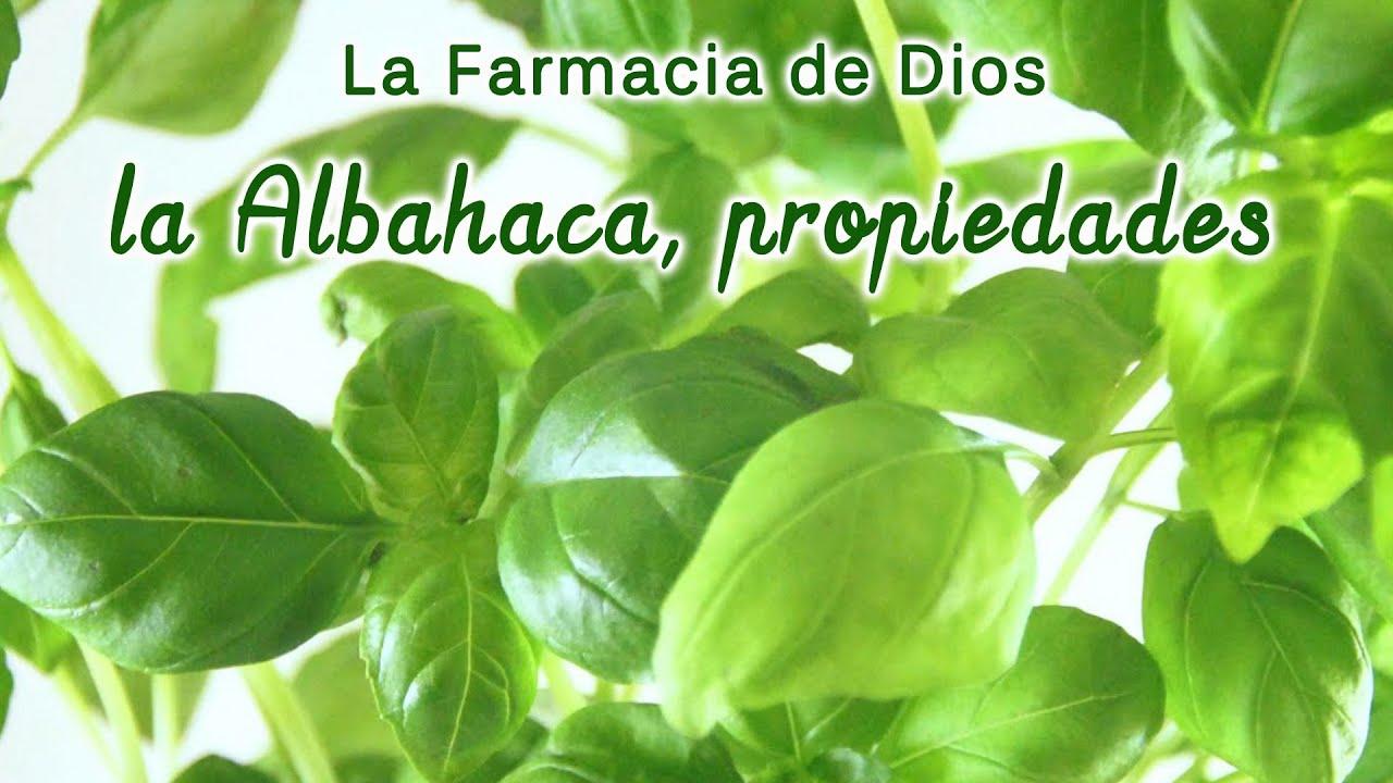 Beneficios de la albahaca fresca